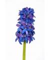 Blauwe hyacinth 30 cm